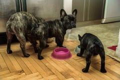 Essen mit drei französischen Bulldoggen Stockbilder