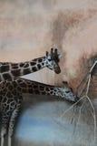 Essen mit zwei Giraffen Lizenzfreie Stockfotografie