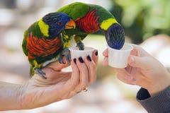 Essen mit zwei Regenbogen Lory-Papageien Stockfotos