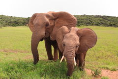Essen mit zwei wildes afrikanischen Elefanten Lizenzfreie Stockfotos
