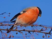 Essen von Bullfinch auf dem Baum Stockfotos