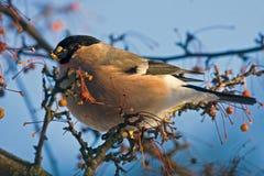 Essen von Bullfinch auf dem Baum Stockbild