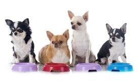 Essen von Chihuahua Lizenzfreie Stockfotografie
