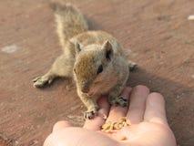 Essen von Chipmunk Lizenzfreie Stockbilder