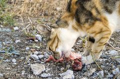 Essen von den Katzenkatzen, die das Fleisch essen Lizenzfreie Stockfotos