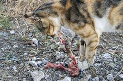 Essen von den Katzenkatzen, die das Fleisch essen Lizenzfreies Stockbild