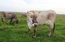 Essen von Graskühen auf einer Weide Stockfoto