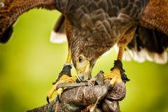 Essen von Raubvogel bild Lizenzfreie Stockfotografie
