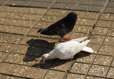 Essen von Tauben stockfotografie