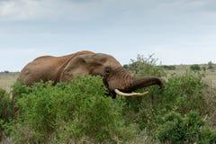 Essen zeit- Afrikaner-Bush-Elefanten stockfoto