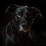 Essence of Black Dog. A black dog on a black background with accents of light and shadow Stock Photo