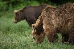 Essende Braunbären, Paare von Bären Stockfotografie