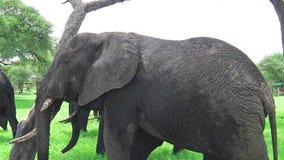 Essender und verkratzender Elefant stock video footage