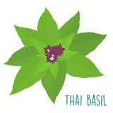 Essential ingredient fresh Thai basil leaf  Royalty Free Stock Photo