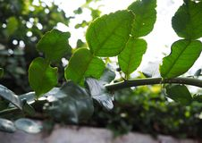 Essential oils gland on the Kaffir lime (Citrus hystrix) leaves. And branches royalty free stock photos