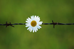 Essential point. White marguerite in fence captivity stock image