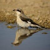 Esser grey shrike Lanius minor bathes Royalty Free Stock Photo