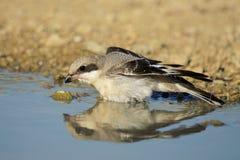 Esser grey shrike Lanius minor bathes Stock Photography