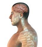 Essere umano Brain Anatomy illustrazione di stock