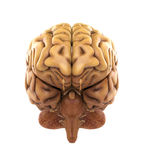 Essere umano Brain Anatomy Fotografia Stock