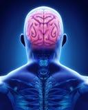 Essere umano Brain Anatomy Fotografia Stock Libera da Diritti