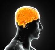Essere umano Brain Anatomy Immagini Stock