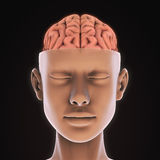 Essere umano Brain Anatomy Immagini Stock Libere da Diritti