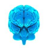 Essere umano Brain Anatomy Isolated Fotografie Stock Libere da Diritti