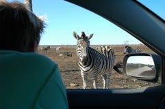Essere umano di sorveglianza della zebra Immagini Stock