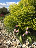 Essex, сад Hyde Hall Spurge, тюльпаны, апрель Стоковые Изображения