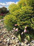 Essex, Hyde Hall Garden Euforbia, tulipani, aprile Immagini Stock