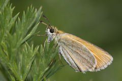 Essex skipper Royalty Free Stock Image