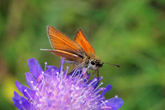 Essex Skipper Royalty Free Stock Photo