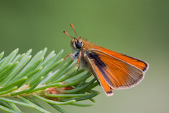 Essex Skipper. A little butterfly on a pine tree Royalty Free Stock Photo