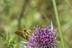 Essex Skipper butterfly Royalty Free Stock Images