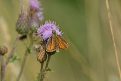 Essex skipper butterfly Stock Images