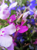 The Essex Skipper. A cute close-up image of an Essex Skipper drinking nectar from a bright pink garden flower Royalty Free Stock Photography