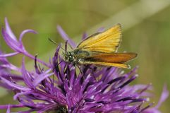 Essex Skipper. Thymelicus lineolus Royalty Free Stock Image
