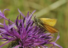 Essex Skipper. Thymelicus lineolusnOn Knapweed Stock Images