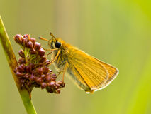 Essex skipper with green background Royalty Free Stock Images