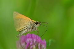 Essex Skipper Royalty Free Stock Photography