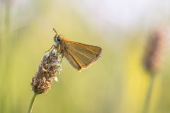 Essex skipper on plantain flower Royalty Free Stock Photos
