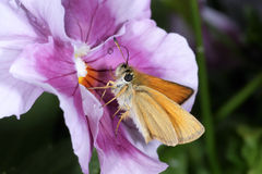 Essex skipper, thymelicus lineola Royalty Free Stock Image