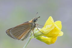 Essex skipper, Thymelicus lineola. On meadow pea Stock Photos