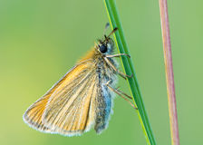 Essex skipper (Thymelicus lineola) at rest on grass stock photography
