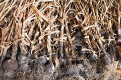 Essiccamento organico dell'aglio Fotografia Stock