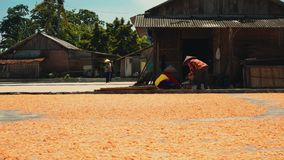 Essiccazione del gamberetto sulla terra in Cilacap, Java, Indonesia video d archivio