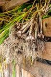 Essiccazione del raccolto dell'aglio nella tettoia all'azienda agricola nella caduta dopo il raccolto Immagini Stock Libere da Diritti