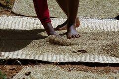 Essiccazione del riso al sole nel Madagascar Fotografia Stock