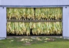 Essiccazione del tabacco Immagine Stock